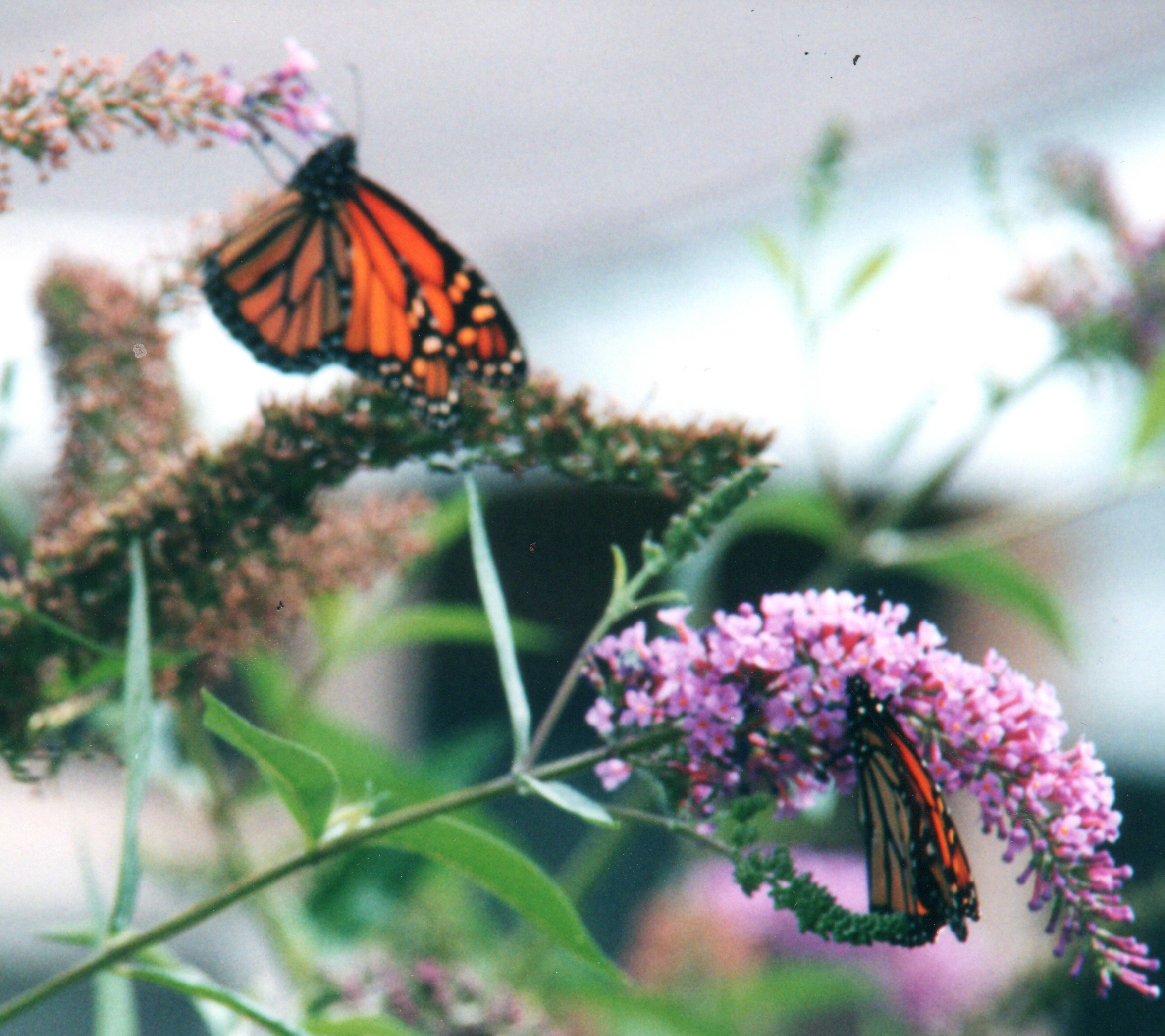 Landscape Planning Attracting Butterflies to Your Yard